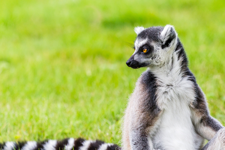 Portrait of a Ring-tailed lemur as it glances back over its striped tail in the long grass. Stock Photo
