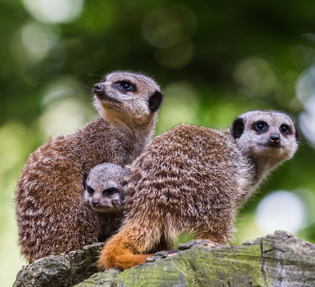 A baby meerkat joins its parents and snuggles between them as they look out for signs of danger to protect the rest of the group from a high vantage position. Stock Photo