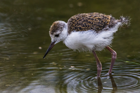 Close up of a Common redshank chick feeding in the shallow waters of a lake in Norfolk. Stock Photo