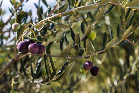 Olives slowly ripen on a tree at Donja Banda - a hillside village on the southern slopes of the Peljesac peninsula in Croatia.