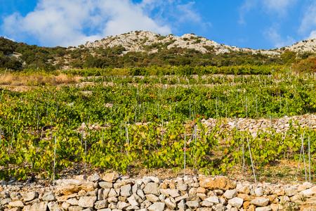 Landscape image of vineyard at Trstenik on the sloping hillside of the Peljesac peninsula, Croatia.