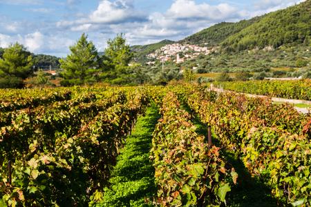キャラで栽培されている Posip ブドウのブドウ園に沿って見る、コルチュラ島 Island.Cara は、有名な Posip ブドウのブドウ園で覆われて大規模な肥沃なフィールド広がる下丘の南斜面に建てられました。 写真素材 - 88505137