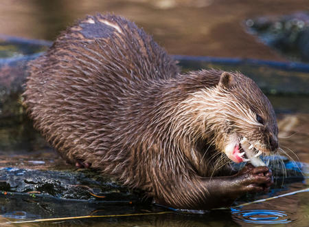 Close-up of an Asian small-clawed otter feeding on a rock during the late autumn sunshine in the North West of England.