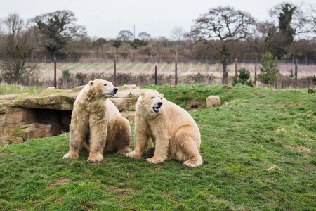 Two Polar bears siblings call out whilst sat side by side on a grass bank in England. Imagens