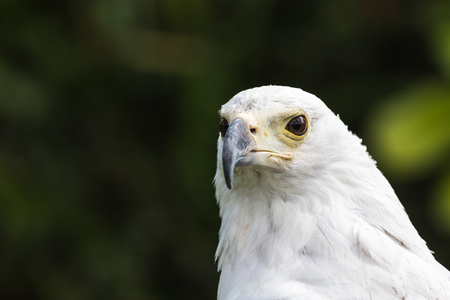 Head shot of an African Fish Eagle captured in the spring of 2019 in England.