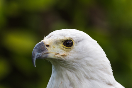 Head shot of an African Fish Eagle fills the frame in the spring of 2019 in England. 写真素材
