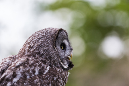 A Great Grey Owl gazes out of the frame during the spring of 2019 in England. 写真素材