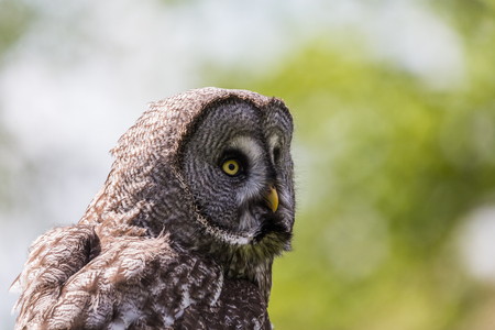 Vivid yellow eyes of a Great Grey Owl captured against a bright background in the spring of 2019 in England.