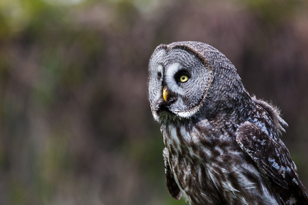 A Great Grey Owl looks into the sky as the wind blows through its feathers in the spring of 2019 (seen in East Anglia, England). 写真素材