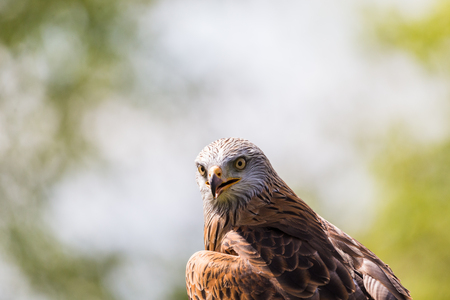 A colourful Harris Hawk turns it head to face the camera during the spring of 2019 in England.