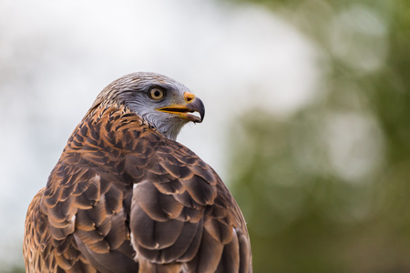 A Harris Hawk looks into the distance s it rests on a post in the spring of 2019 in England.