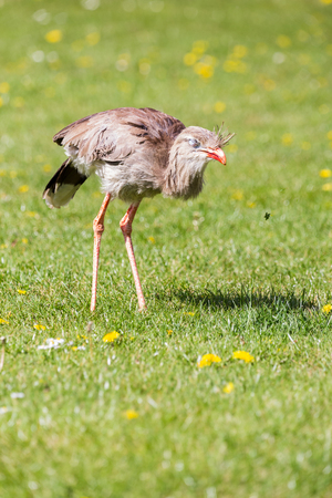 A Red-legged Seriema flicks its beak against the grass to find food in the spring of 2019 in East Anglia, England.