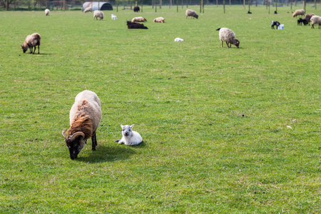 New born lambs seen laying on the grass in the heart of the Norfolk countryside in England. 写真素材 - 122320706