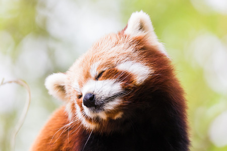 A Red Panda tilts its head to one side after yawning high up in a tree in East Anglia (England) during the spring of 2019. 写真素材
