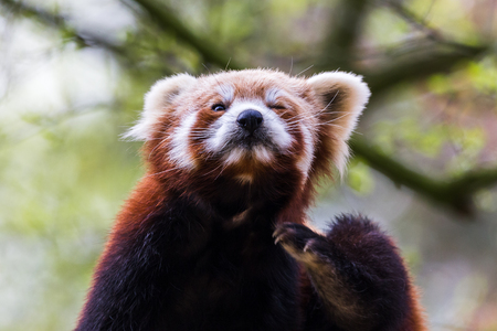 A Red Panda sits on a branch of a tree as it scratches itself during the spring of 2019 in England. 写真素材