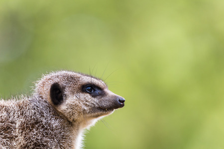 Slended tailed meerkat looks into the distance as it keeps watch on its family.  Seen in Norfolk (England) in the spring of 2019.
