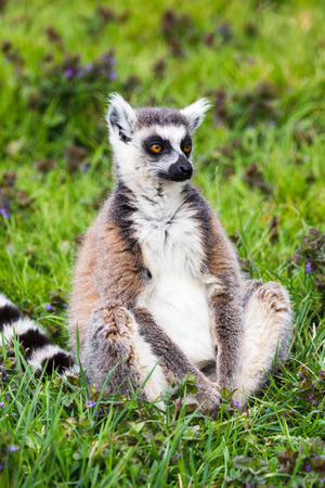 Portrait of a Ring Tailed Lemur as it sits the grass during the spring of 2019 in England.