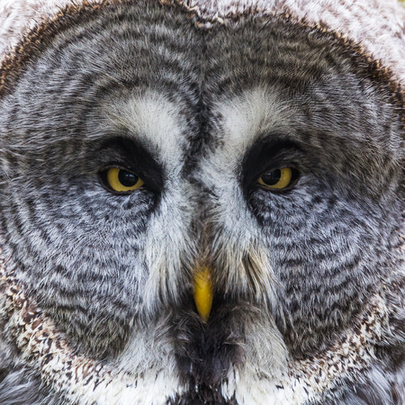 Square crop of a Great Eagle Owl as it faces the camera, surrounded by its circular face.  Captured in Norfolk during the spring of 2019. 写真素材