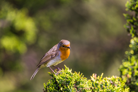 A European Robin stands on the edge of a leylandii hedge in Norfolk during the spring of 2019.