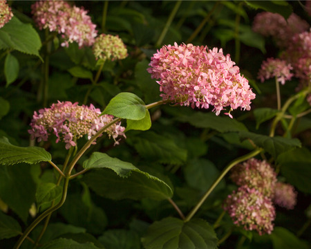 An abundance of lovely pink Hydrangea blossoms glow in the midst of lush green leaves