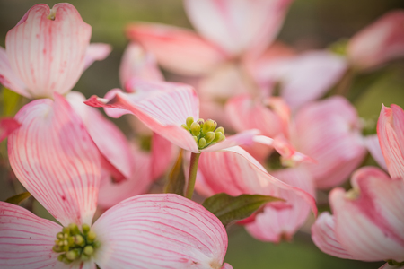 In all their Springtime glory, a profusion of Pink Flowering Dogwood blossoms fill the frame