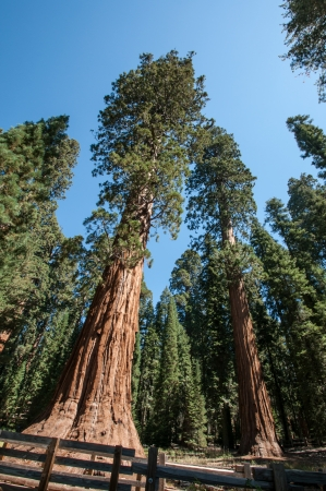 Sequoia national park two big trees Stock Photo - 23715499