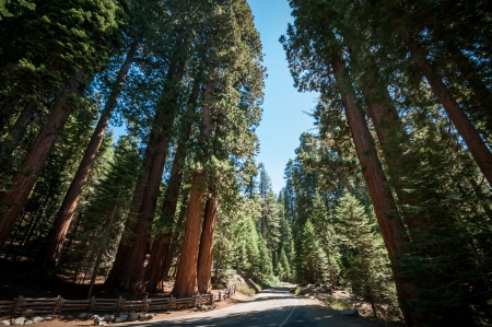 Calle Sequoia �rbol en el parque nacional de california photo