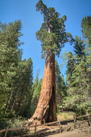 panorama �rbol alto en el Parque Nacional Sequoia photo