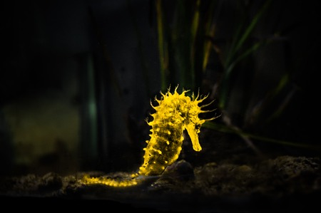 yellow glowing seahorse (Hippocampus) swimming on black photo