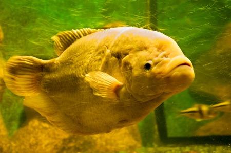 trigger fish: yellow fish under water