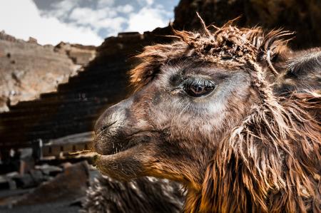 pisaq: Lamas (Alpaca) in Andes,Mountains, Peru south america Stock Photo