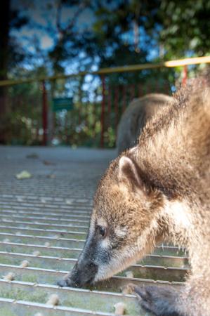 nosed: Nosed Coati Iguazu brazil animal south america