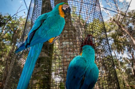 aras: Aras birds, National park Iguazu, Brazil south america