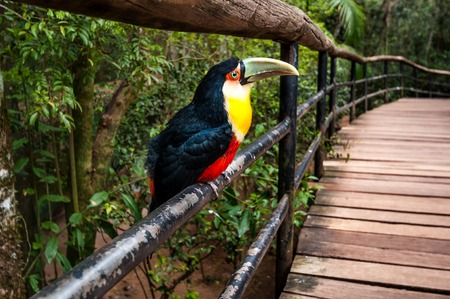 bird beaks: Toucan bird, National park Iguazu, Brazil south america
