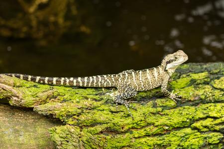 frilled: lizard little dragon close up