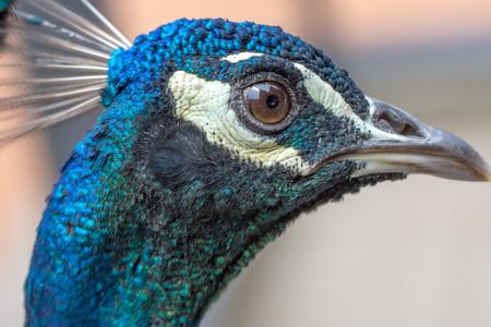 peahen: A peacock full head closeup