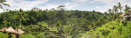 padi: Panorma Padi Terrace, Bali, Indonesia - Local plantation of the layered rice terrace in Bali Island, Indonesia.