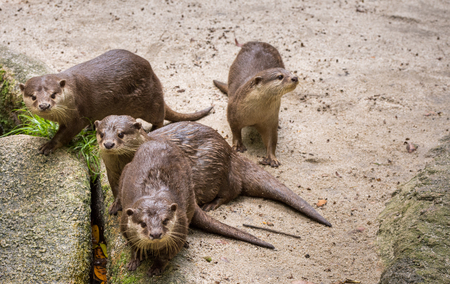 aonyx: Brown otters looking for food