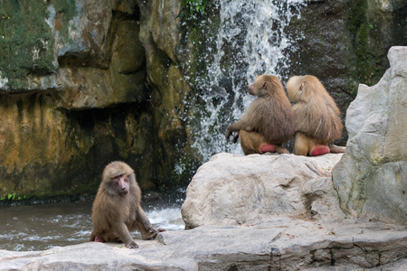 take a bath: Tired Pavians sitting in pool and take a bath