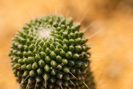 Domestic prickly cactus closeup seen in Singapore 2016