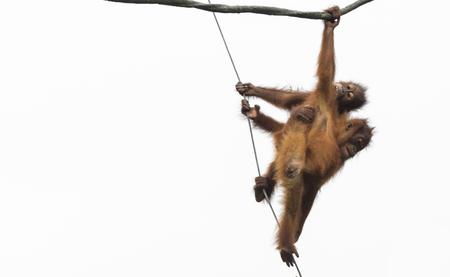 utang: Orang Utans exclusively Asian species seen in singapore 2016