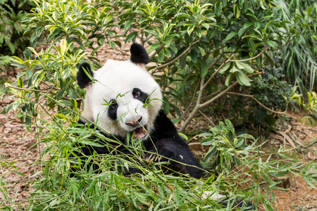 endanger: Panda bear eating bamboo tree seen in singapore