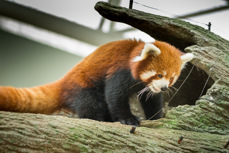 see the usa: Portrait of a Red Panda seen in singapore Stock Photo
