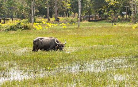 Water buffalo near Angkor Wat complex, 2016