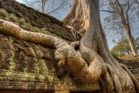 angor: Angor Ta Prohm Khmer ancient Buddhist temple in jungle forest. Famous landmark, place of worship and popular tourist travel destination in Asia.