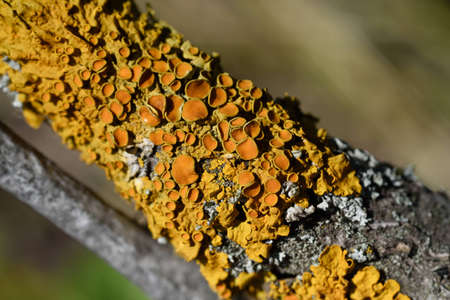 Lichen Xanthoria the wall color of rust growing on the branch.