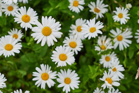 texture in the form of flowers of daisies