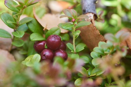 Fresh lingonberry in the North. Stock Photo