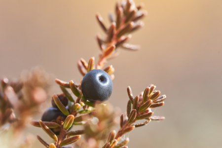 Fresh crowberry in the North.