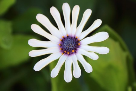 White African Daisy (Dimorphotheca pluvialis) Stock Photo